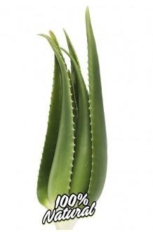 Aloe Vera Penca lebende Pflanze 2/3 Jahre